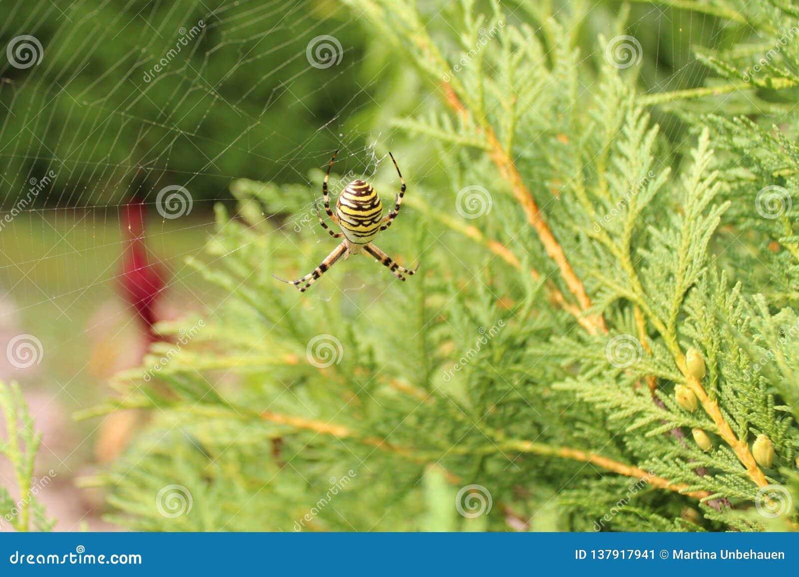 黄蜂蜘蛛在庭院里