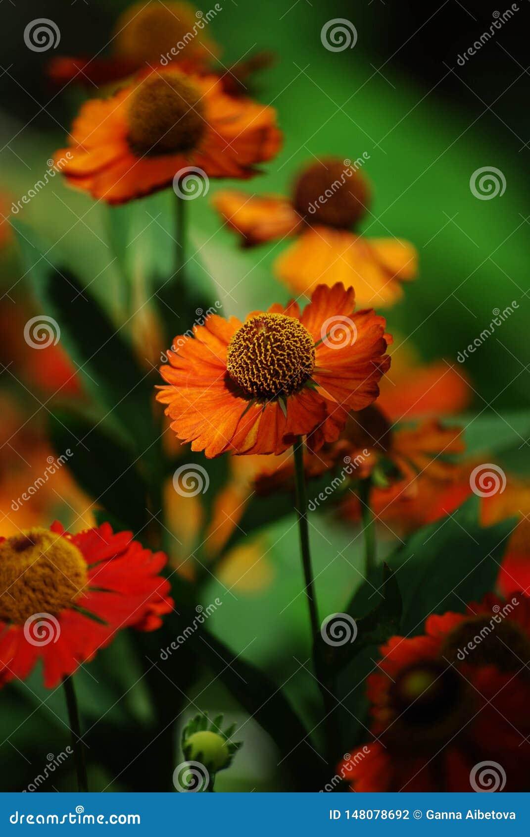 黄金菊hirta,橙色coneflower黄色花接近的照片