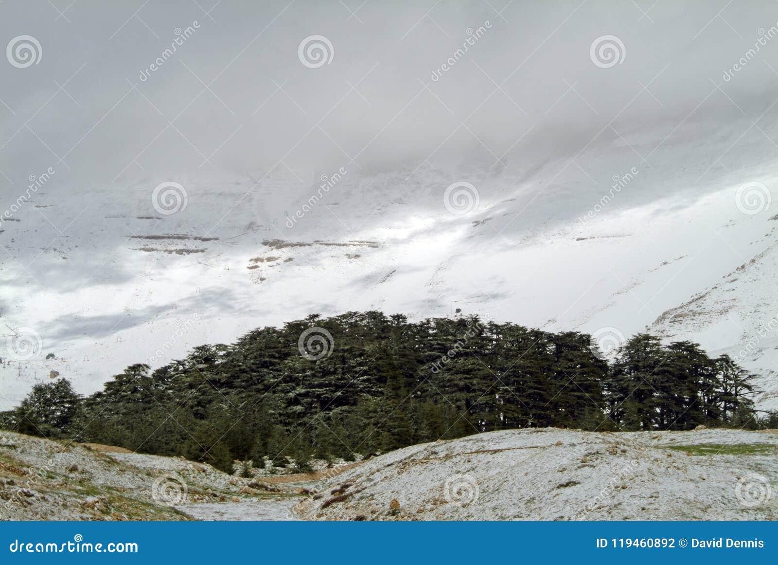 黎巴嫩雪松在Bcharre北部的圣所在黎巴嫩