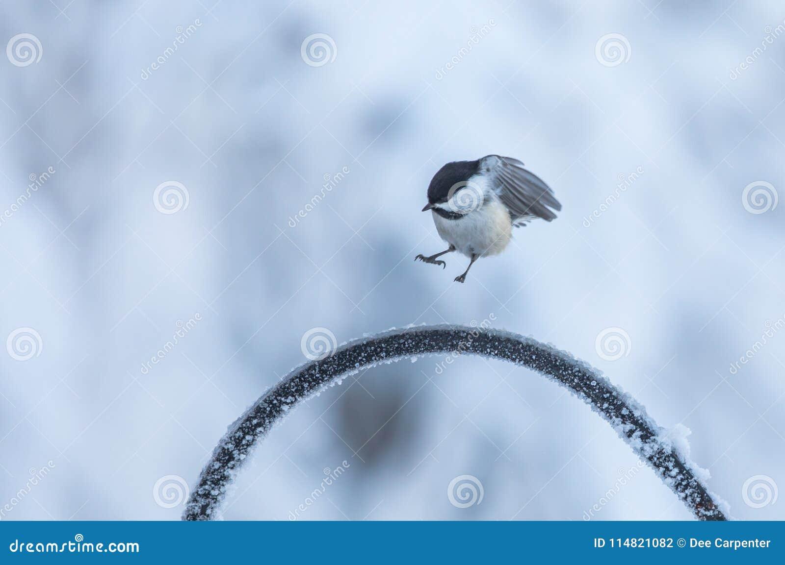 黑加盖的山雀在阿拉斯加