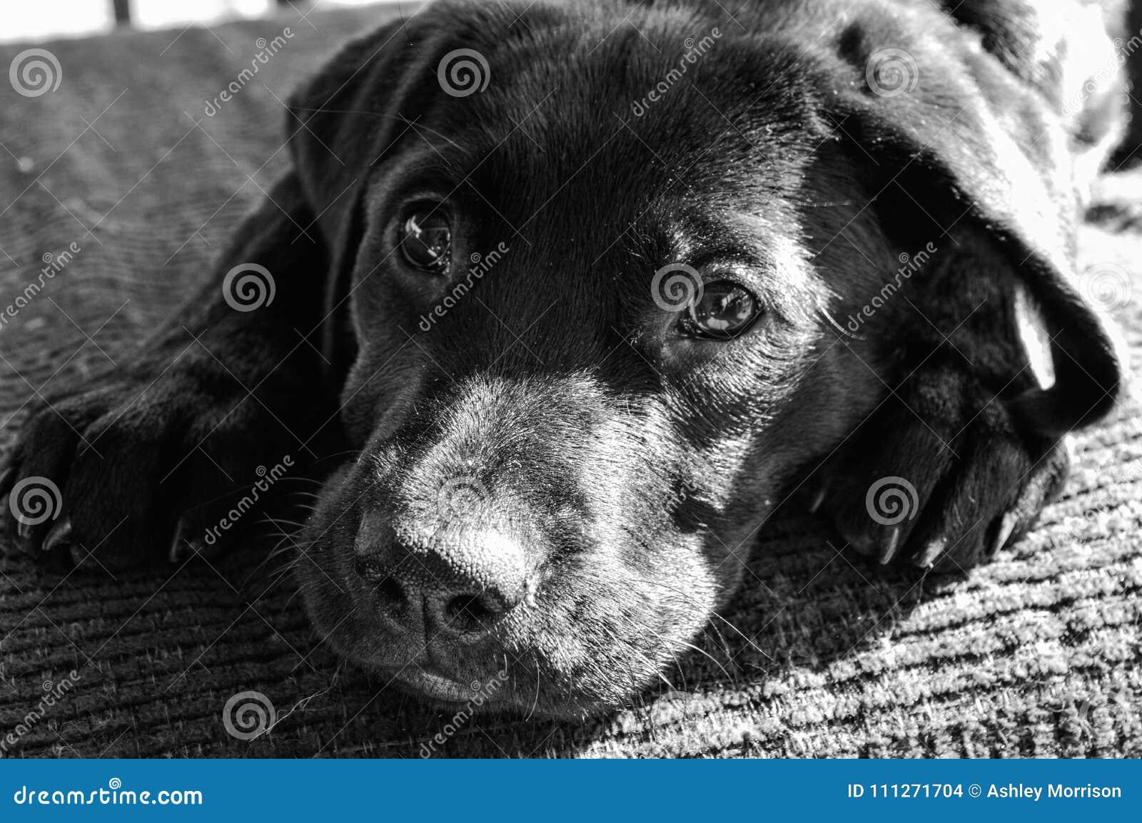 黑实验室小狗讨人喜欢的眼睛