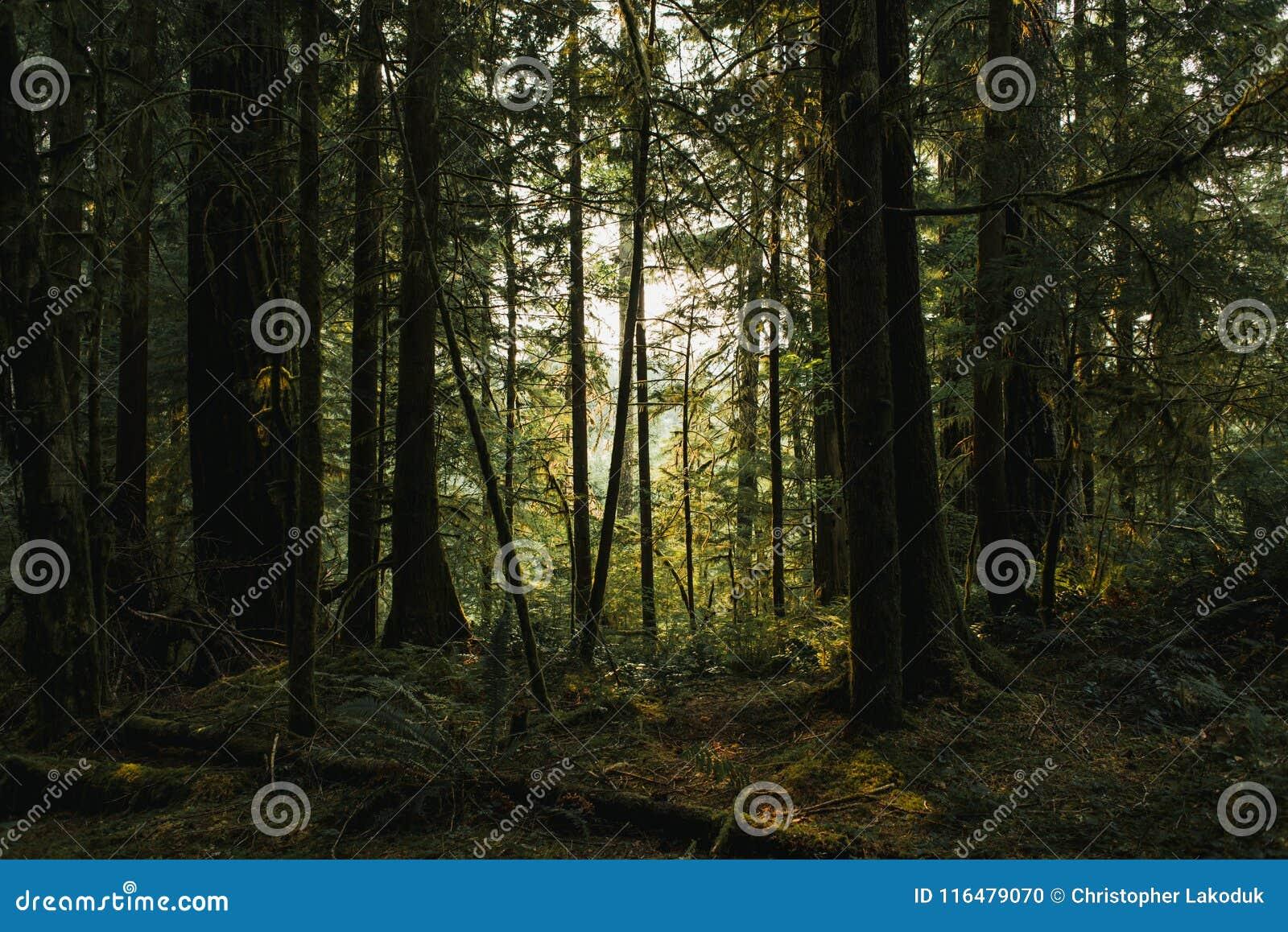 黑暗的朦胧的森林