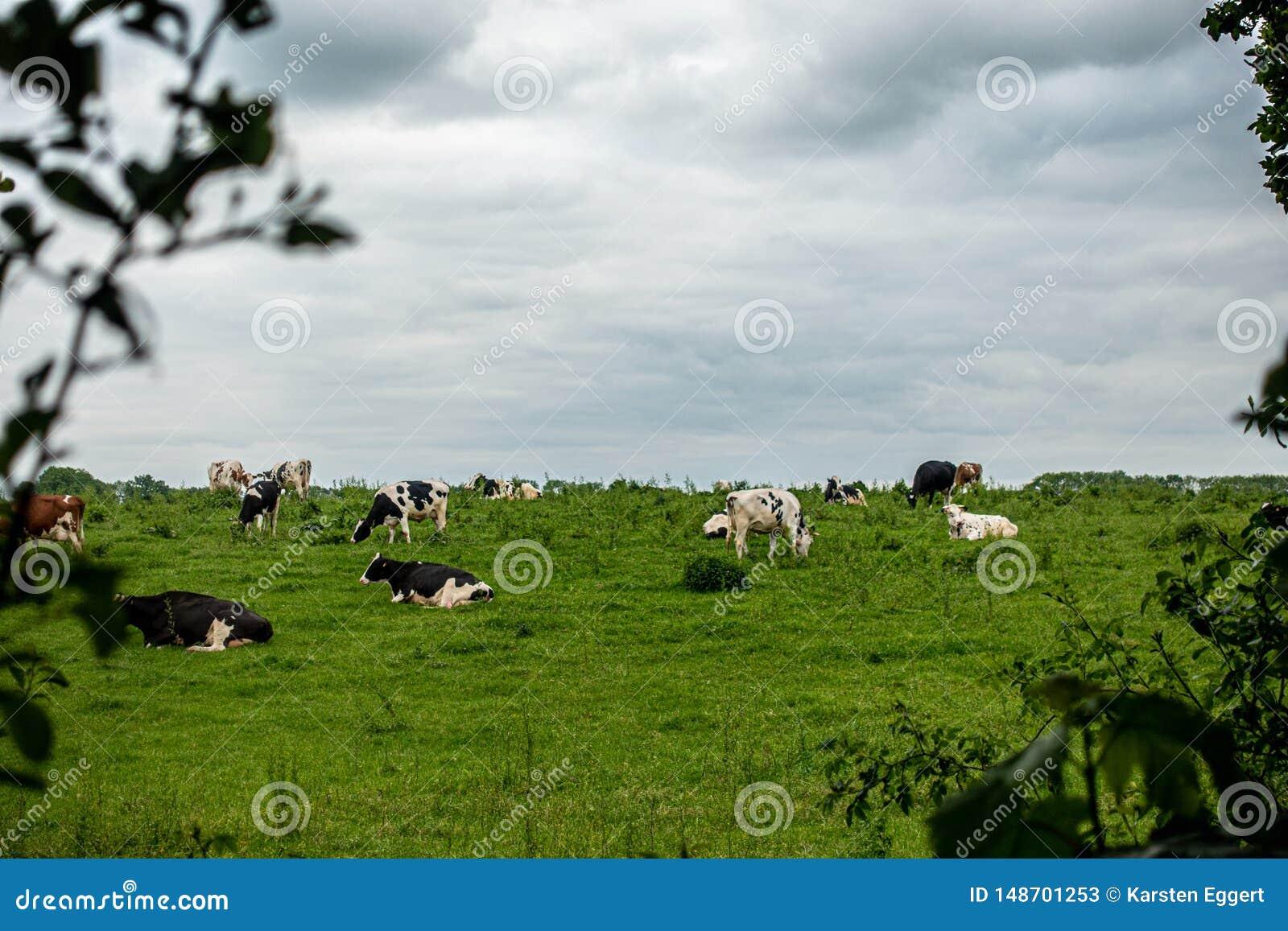 黑白母牛牧群在一个绿色草甸站立,并且天空是阴暗的
