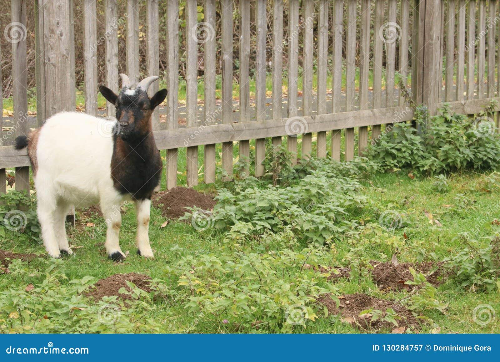 黑白色山羊调查照相机