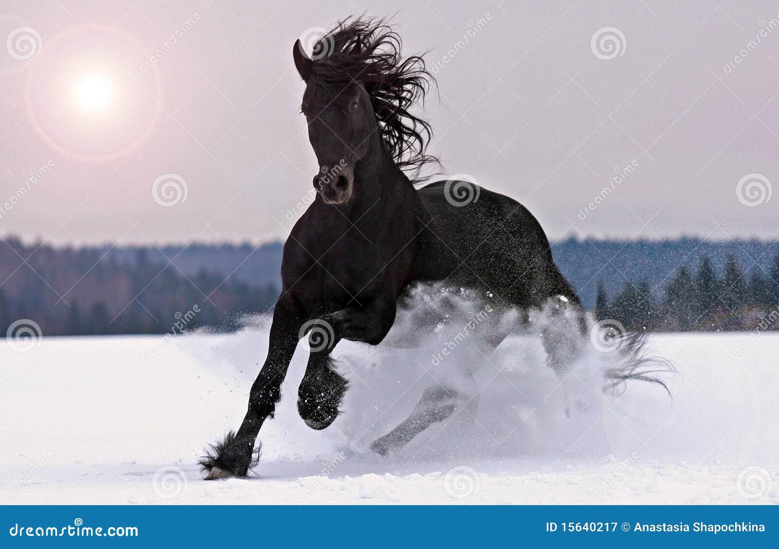 黑白花的疾驰雪公马