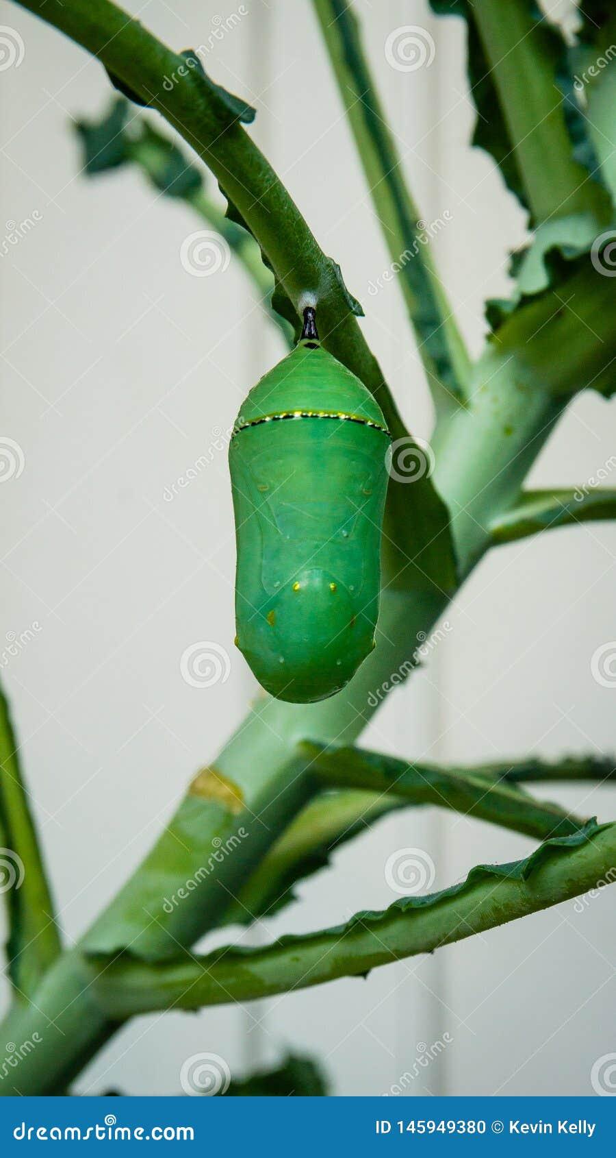 黑脉金斑蝶在无头甘蓝厂的蝶蛹毛虫