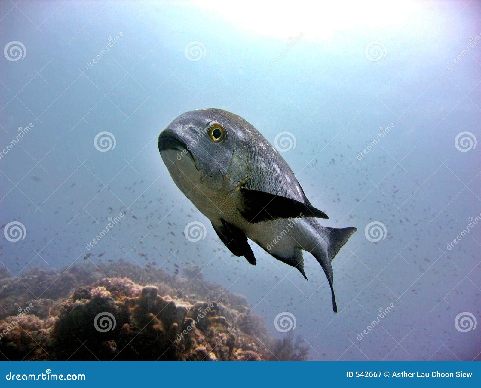 Download 黑色攫夺者白色 库存图片. 图片 包括有 深深, 水生, 海洋, 海鲜, 空白, 翱翔, 投反对票, 游泳, 海运 - 542667