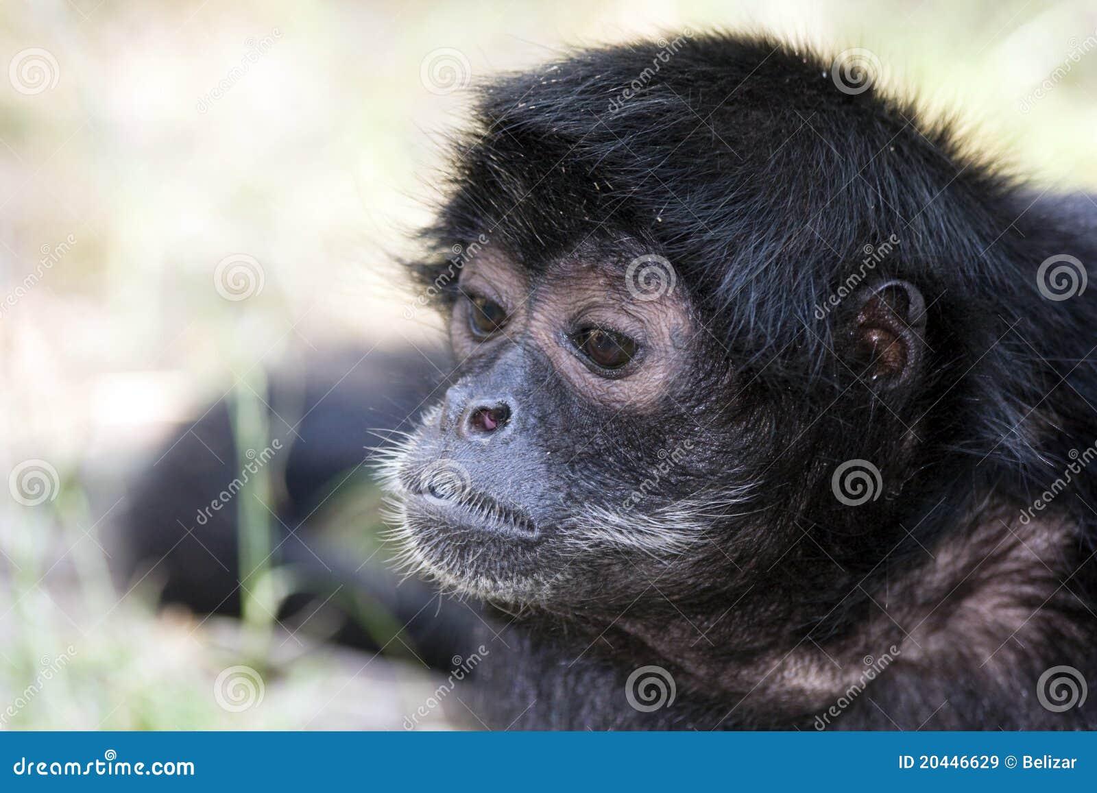 黑色朝向猴子蜘蛛