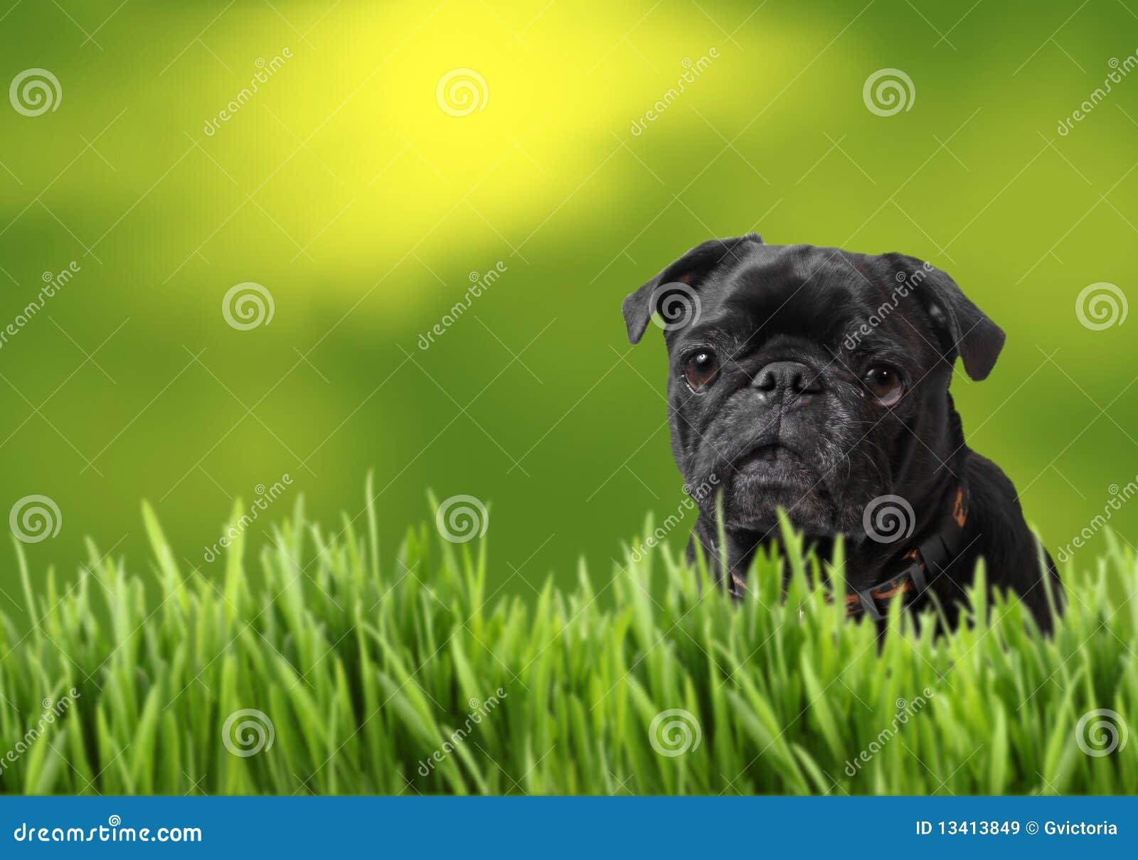 黑色本质哈巴狗