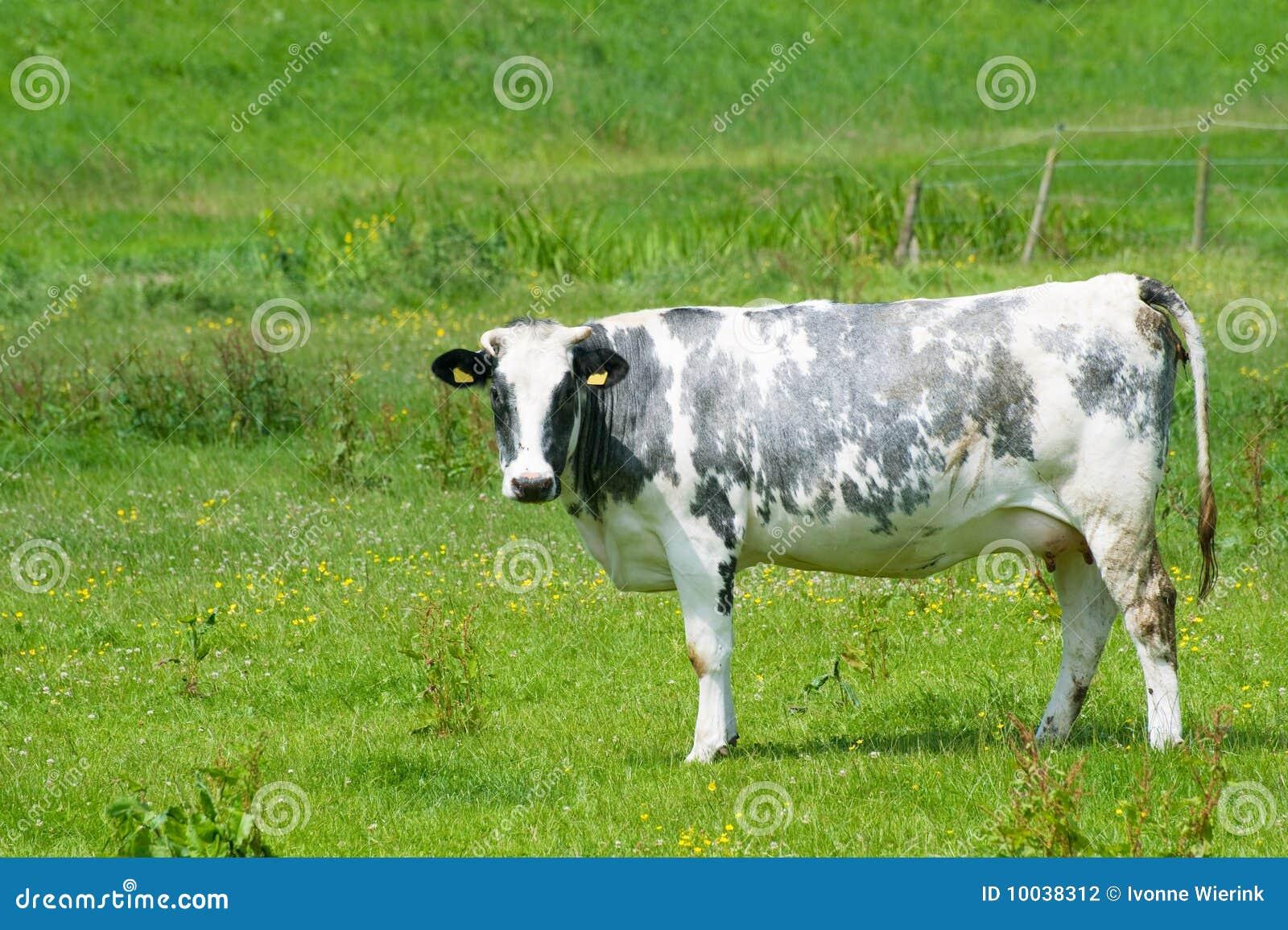黑色母牛白色