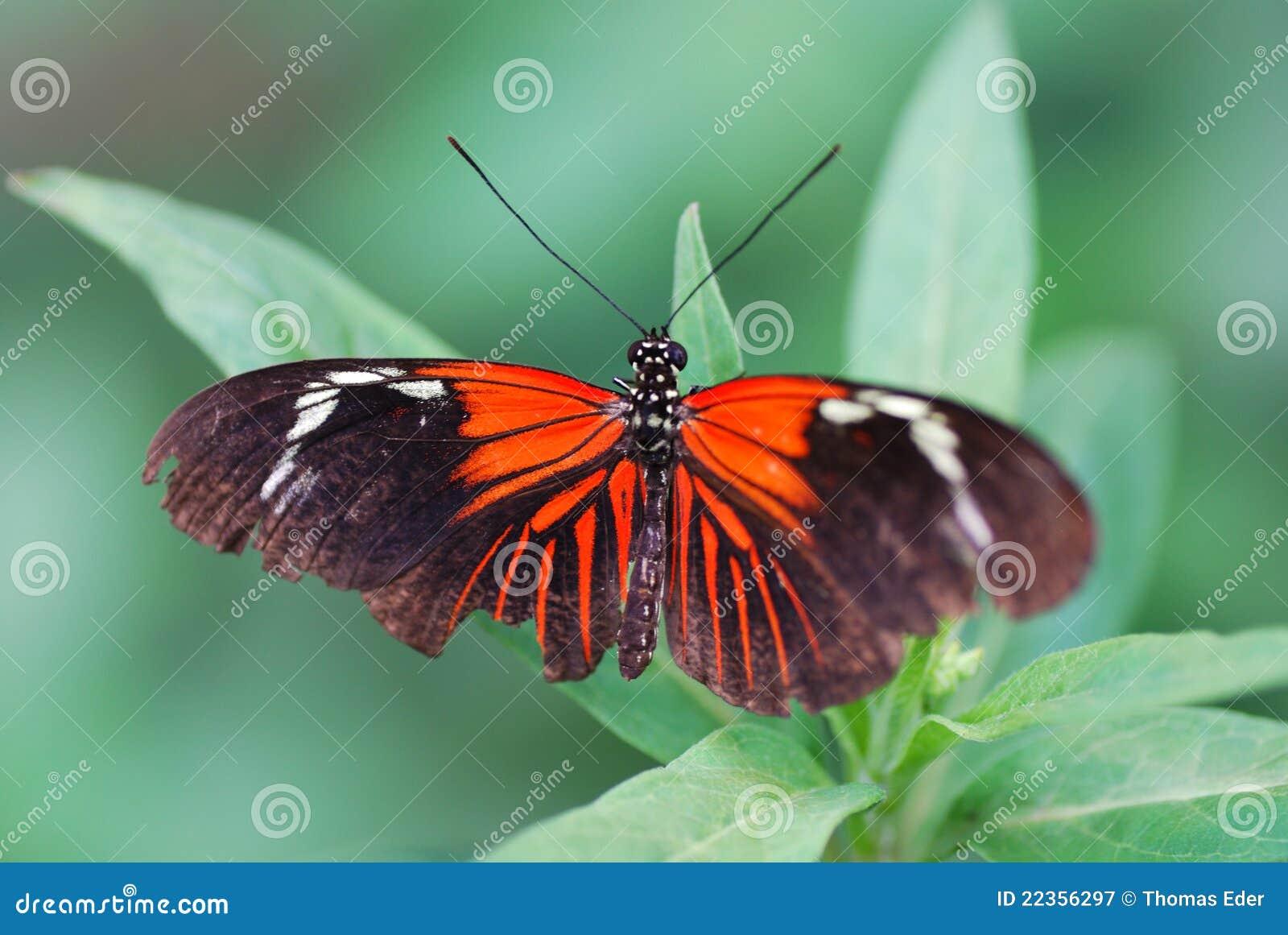 黑色蝴蝶红色