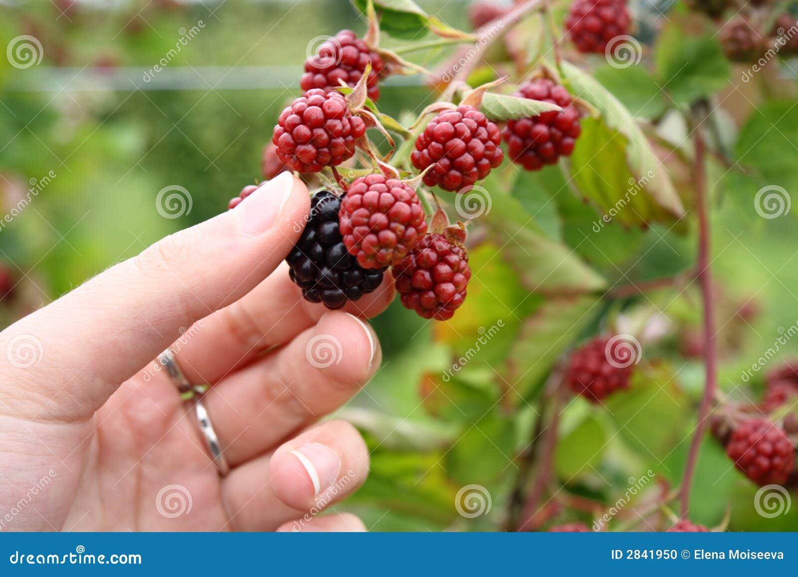 黑莓农厂挑选