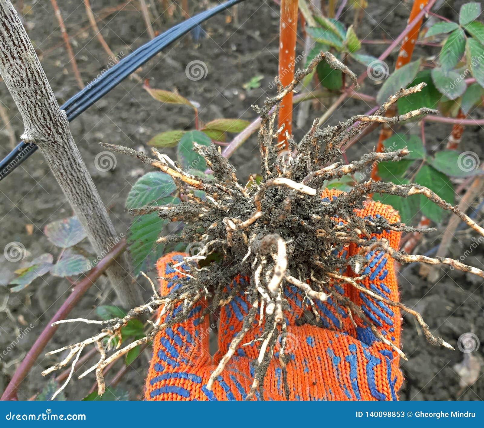 黑莓植物根分层堆积繁殖的