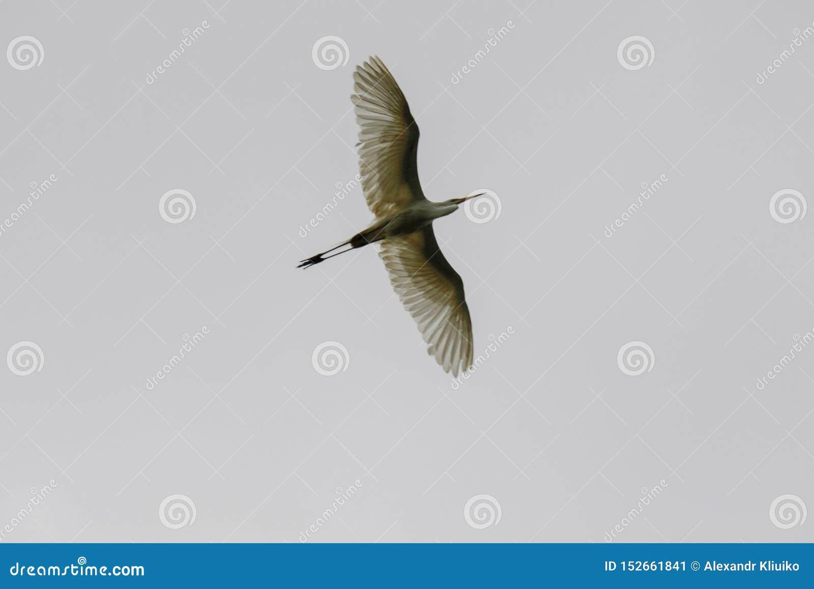 黑被加冠的夜鹭属在飞行中在一灰色多云天空Nycticorax nycticorax下