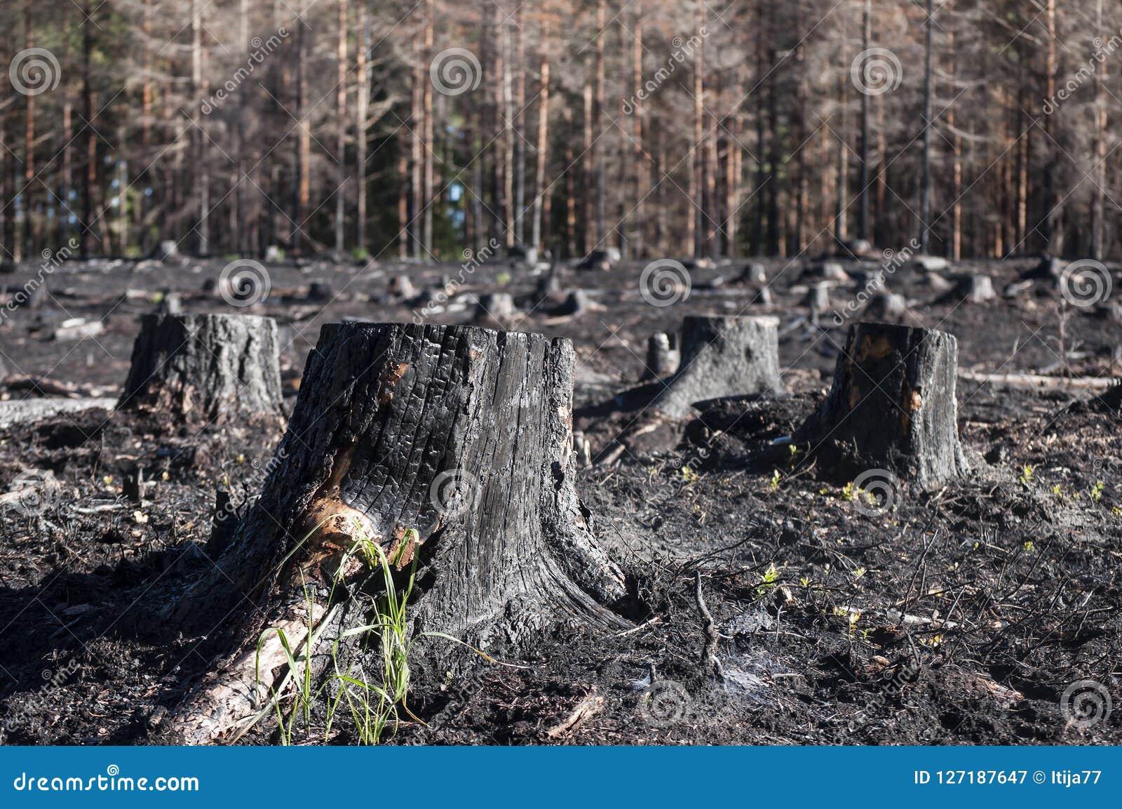黑被烧的树桩特写镜头在阳光下在森林火灾以后在沼地