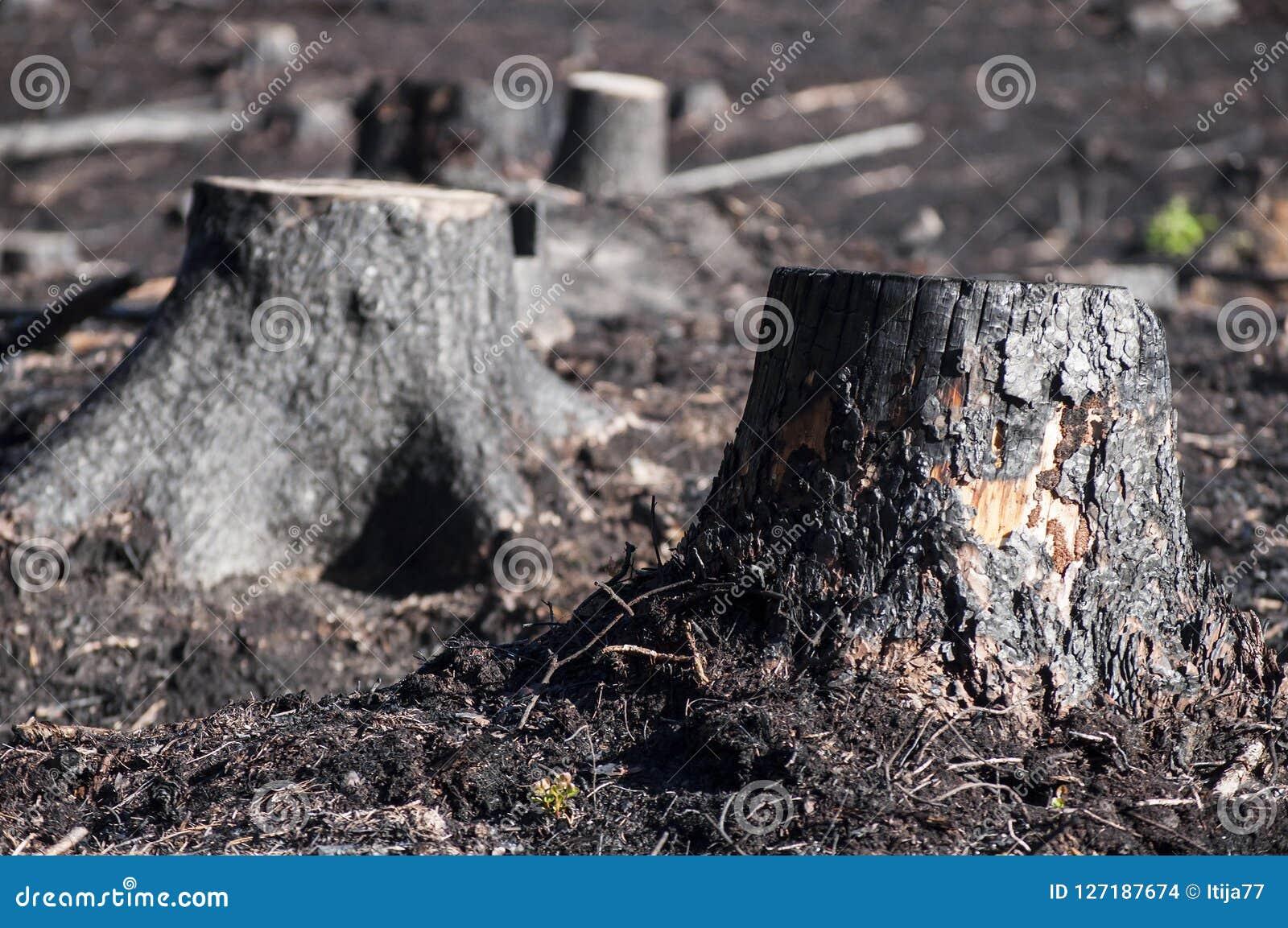 黑被烧的树桩特写镜头在阳光下在森林火灾以后