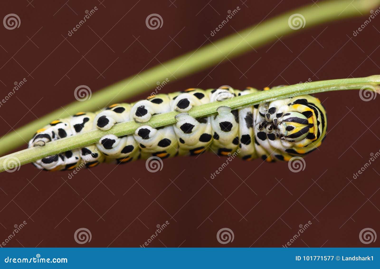黑Swallowtail毛虫-蝴蝶幼虫,也称荷兰芹蠕虫