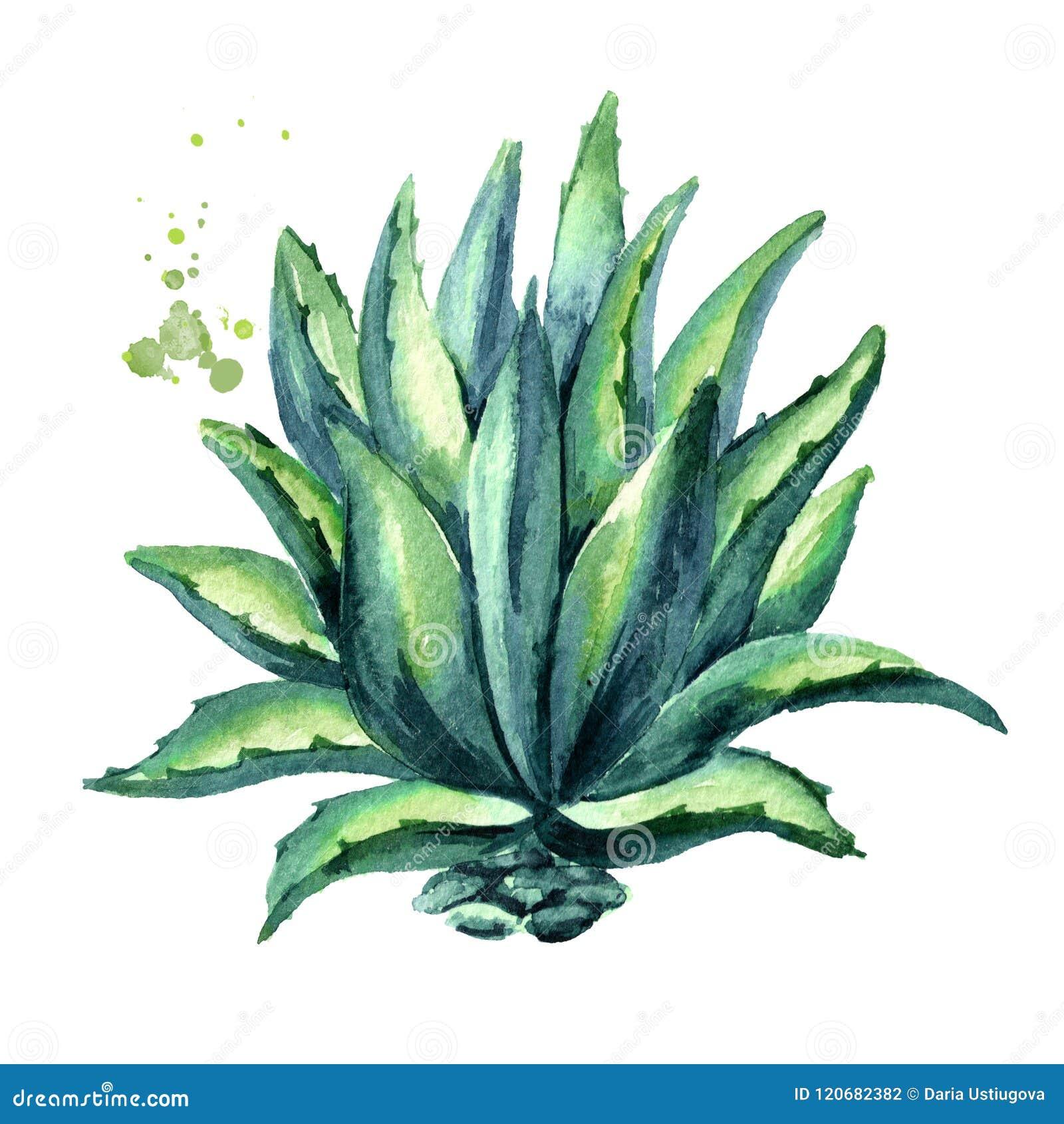 龙舌兰植物 手拉的水彩例证,隔绝在白色背景
