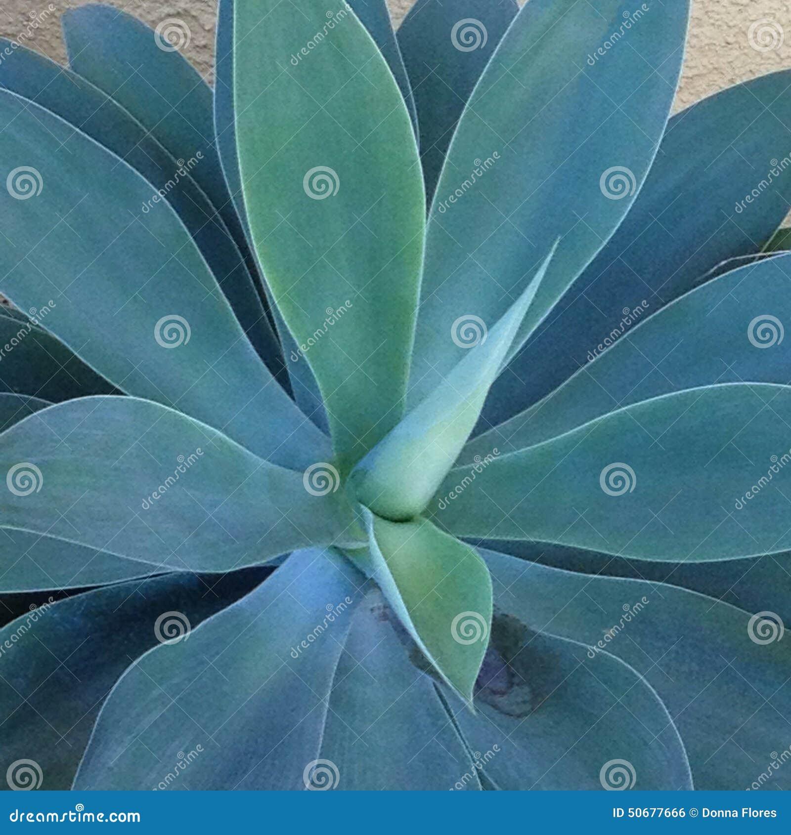 Download 龙舌兰特写镜头 库存照片. 图片 包括有 降低, 工厂, 蓝色, 特写镜头, 绿色, 有机, 线路, 视图 - 50677666