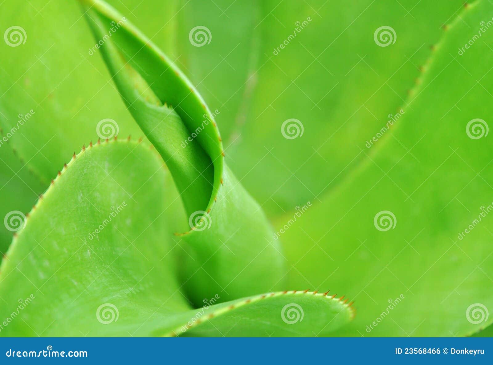 龙舌兰绿色叶子