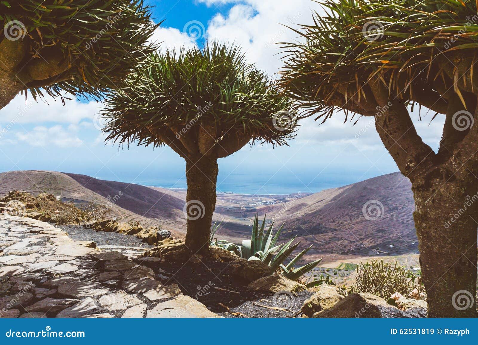 龙血树(龙血树属植物)在兰萨罗特岛,西班牙山