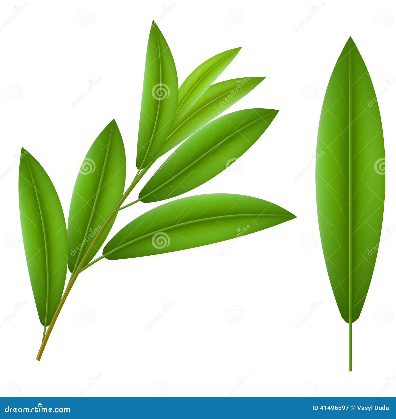 绿色枝杈橄榄和一个叶子橄榄图片