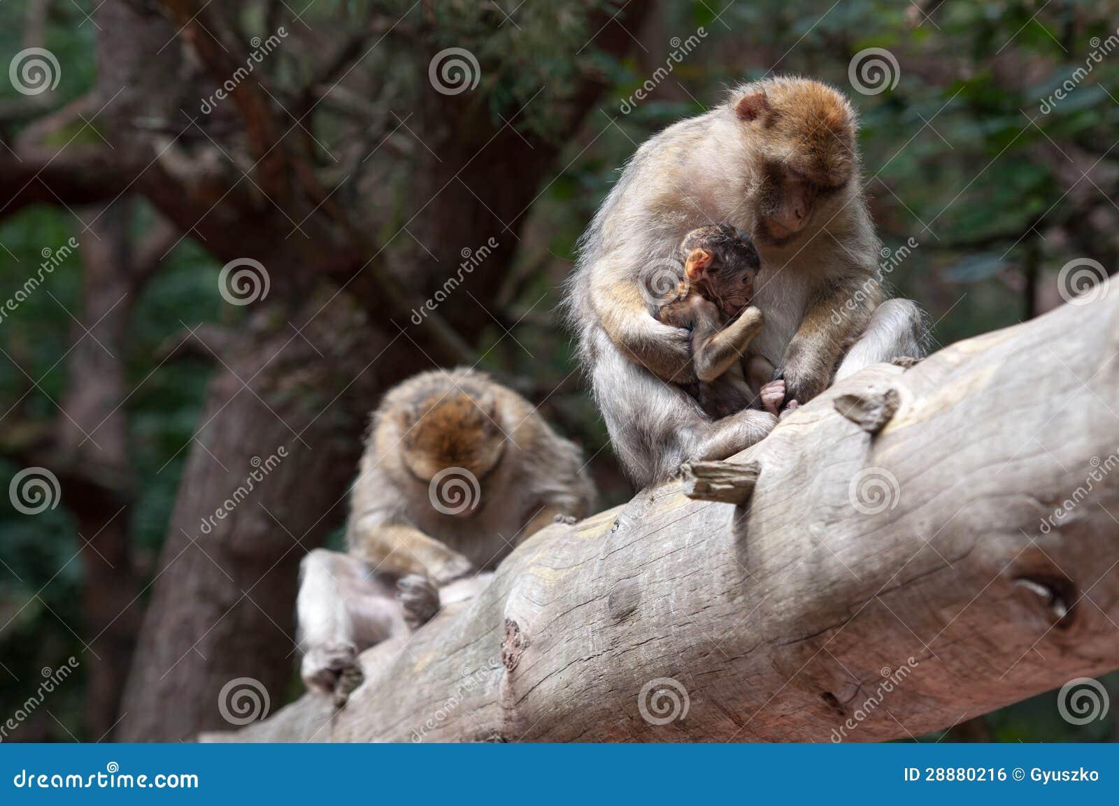 猴子为什么跟人�y.b9`�_巴巴里人猴子
