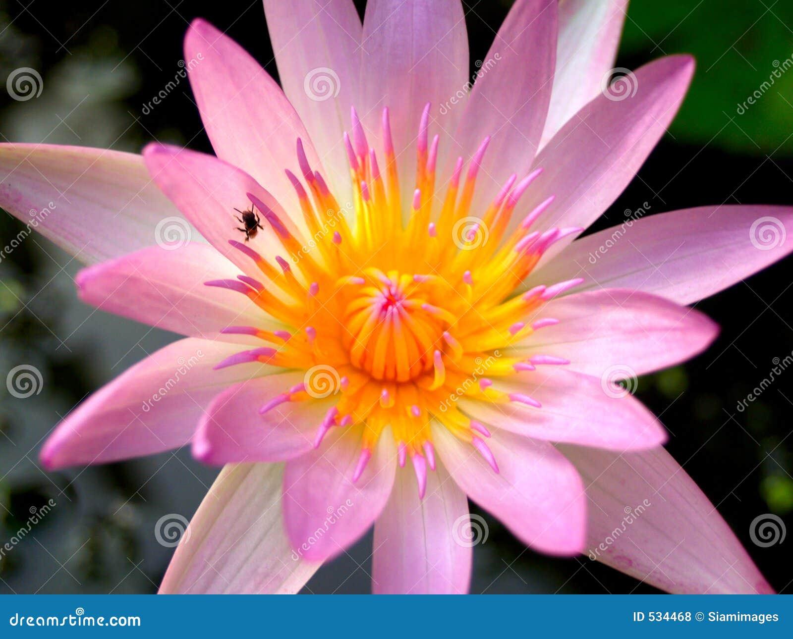 Download 01朵花莲花 库存照片. 图片 包括有 池塘, 丁香, 沼泽, 醉汉, 玻色子, 粉红色, 绿色, 热带, 莲花 - 534468