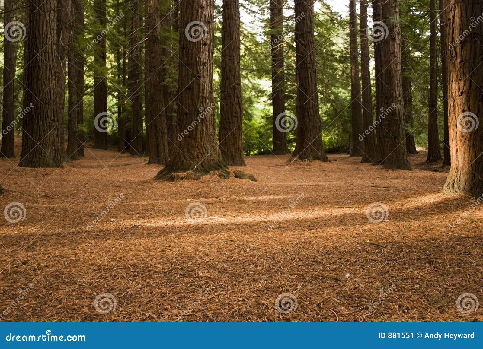 03 lasów redwood