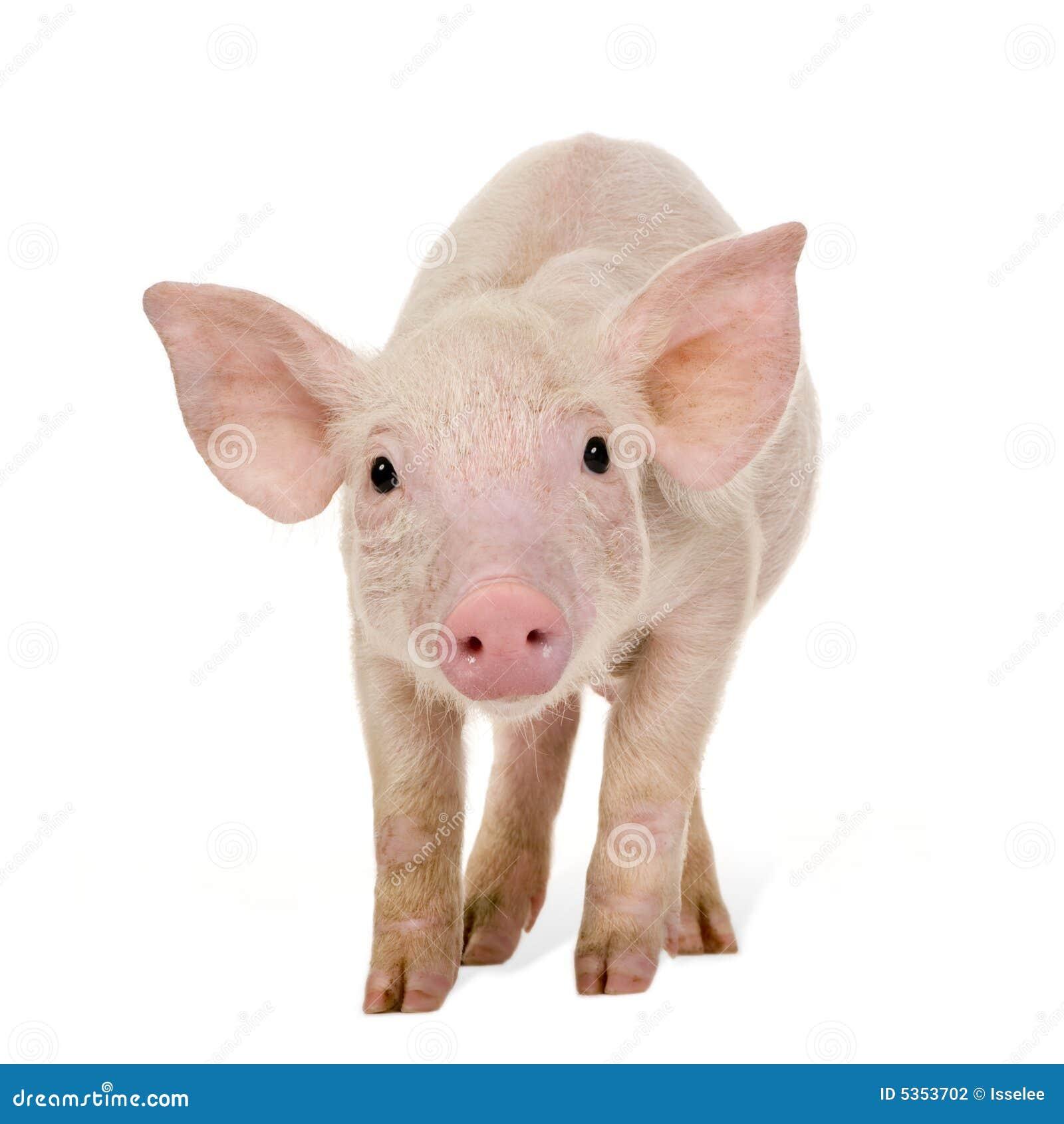 1个月猪年轻人