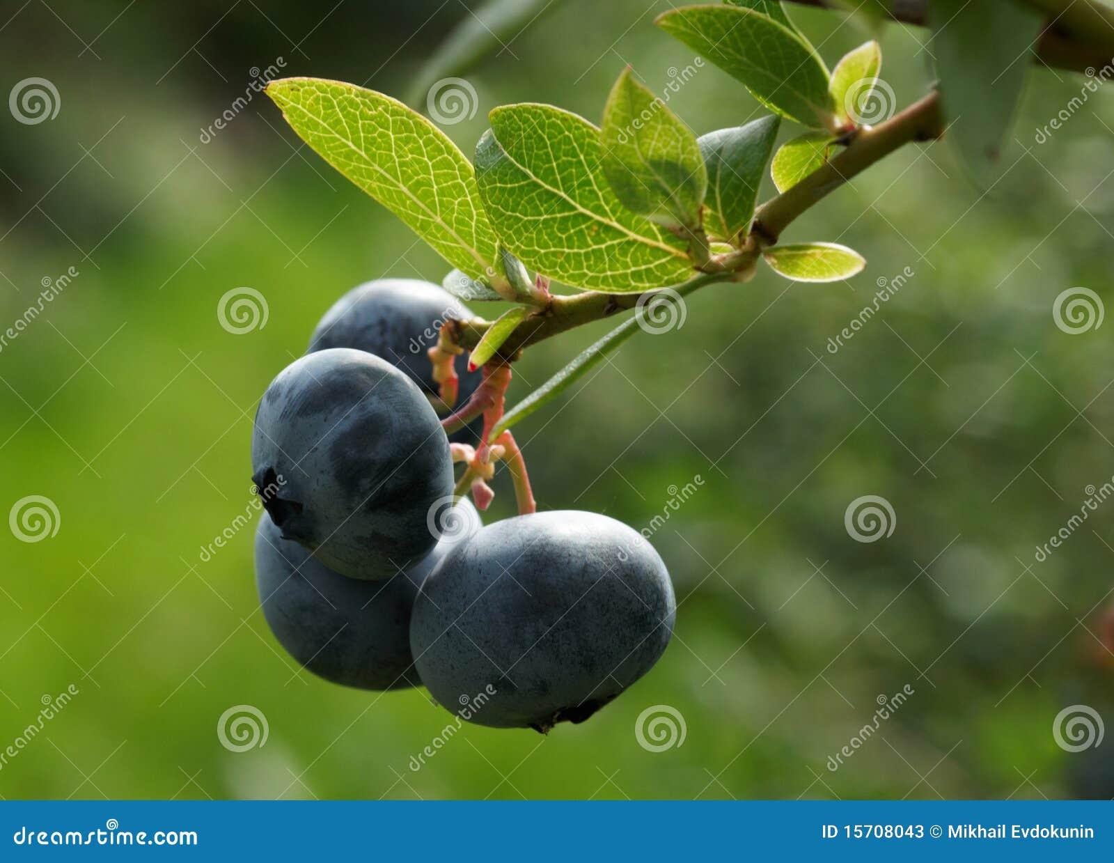 1浆果蓝莓灌木