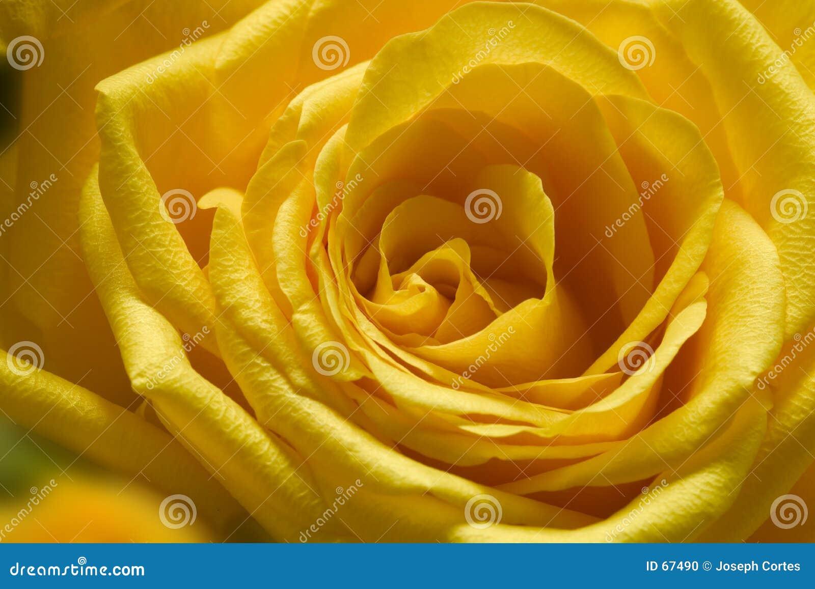 1玫瑰黄色