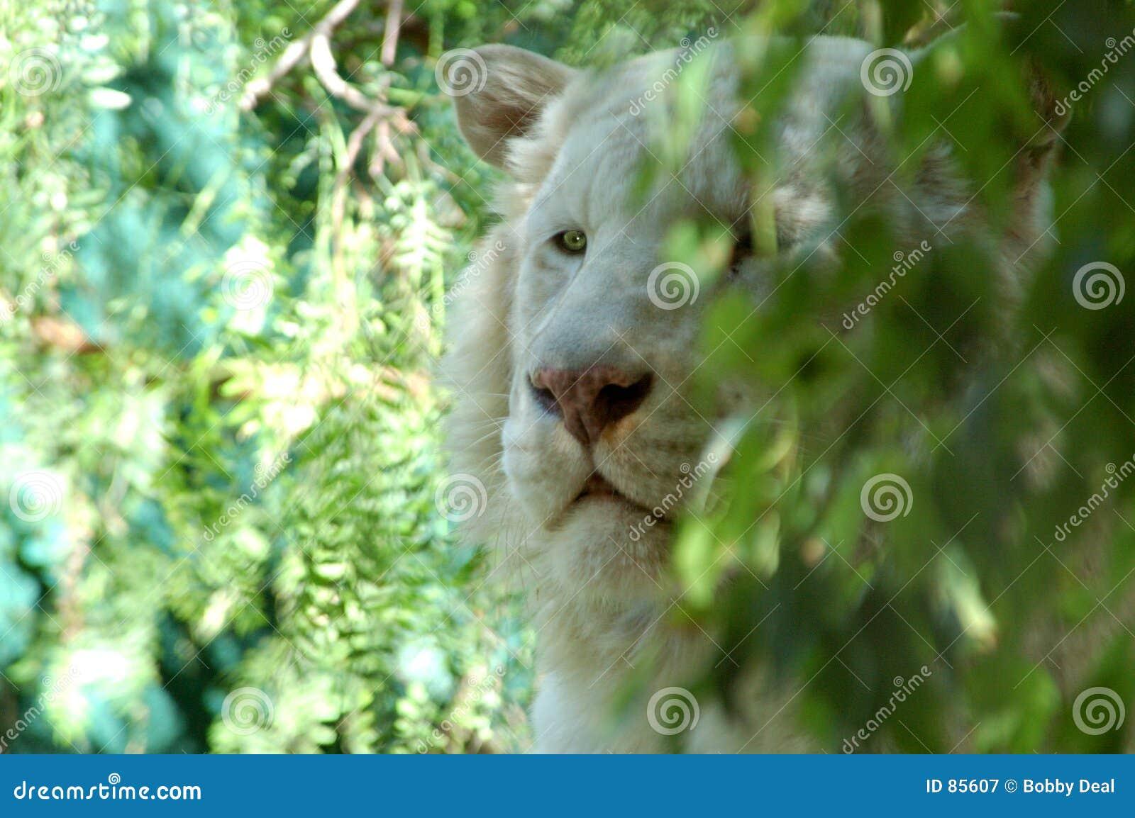 1 λευκό λιονταριών