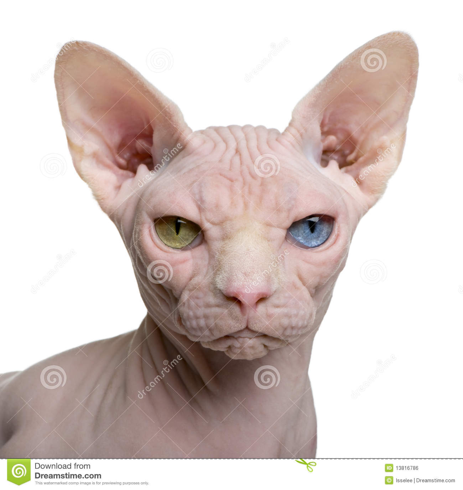 1 παλαιό έτος sphynx γατών