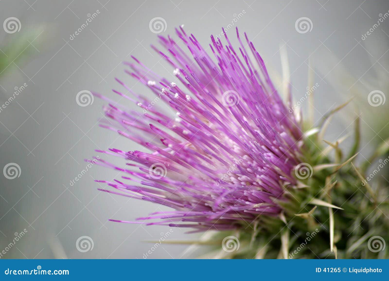 1 πορφυρός κάρδος λουλουδιών