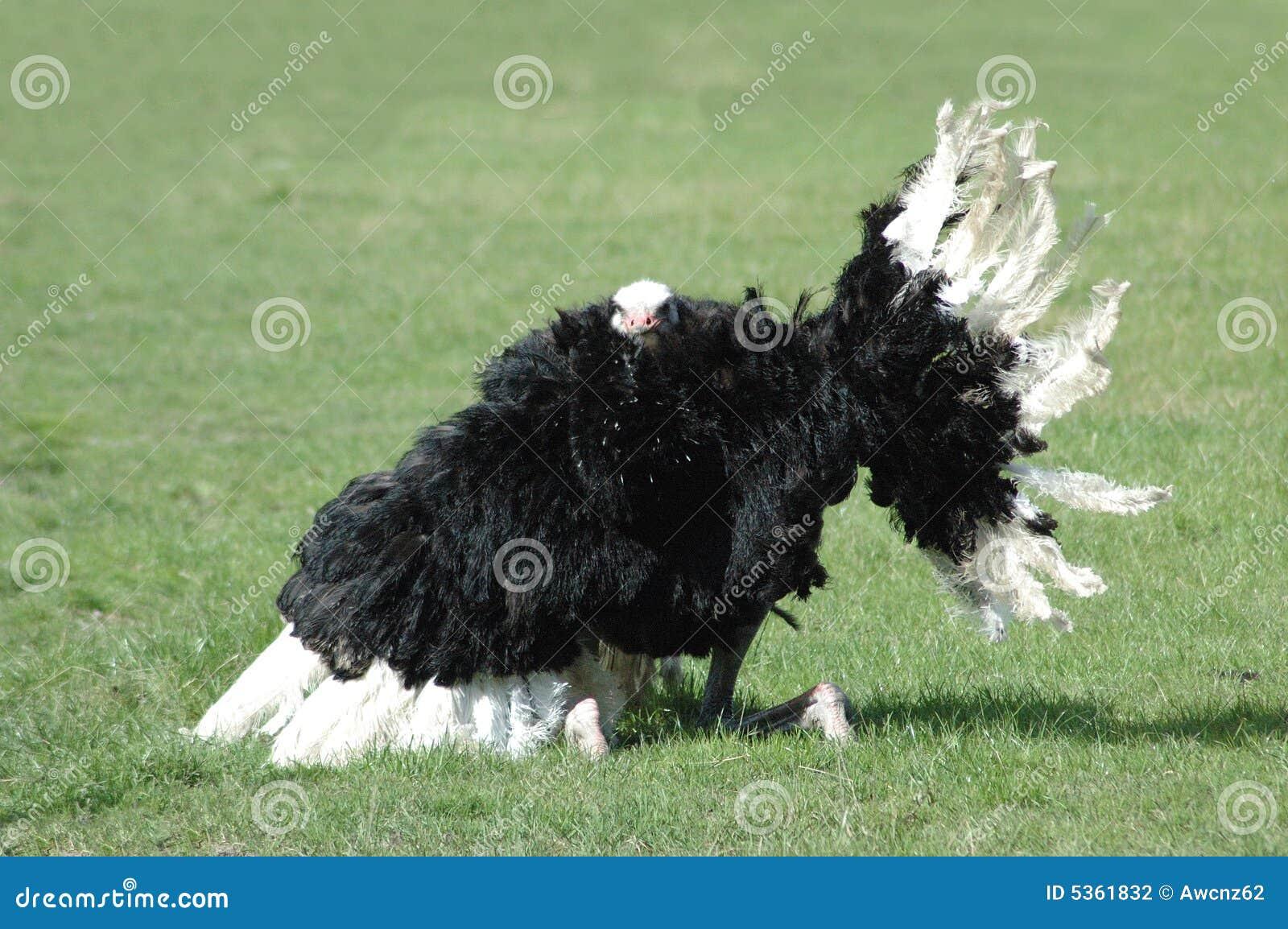 1 страус танцульки