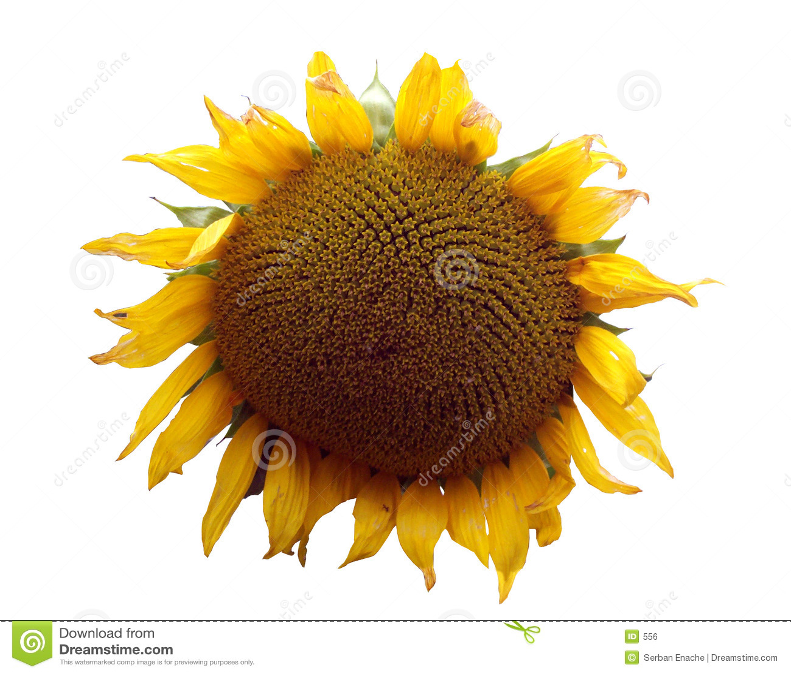 1 тема солнцецвета