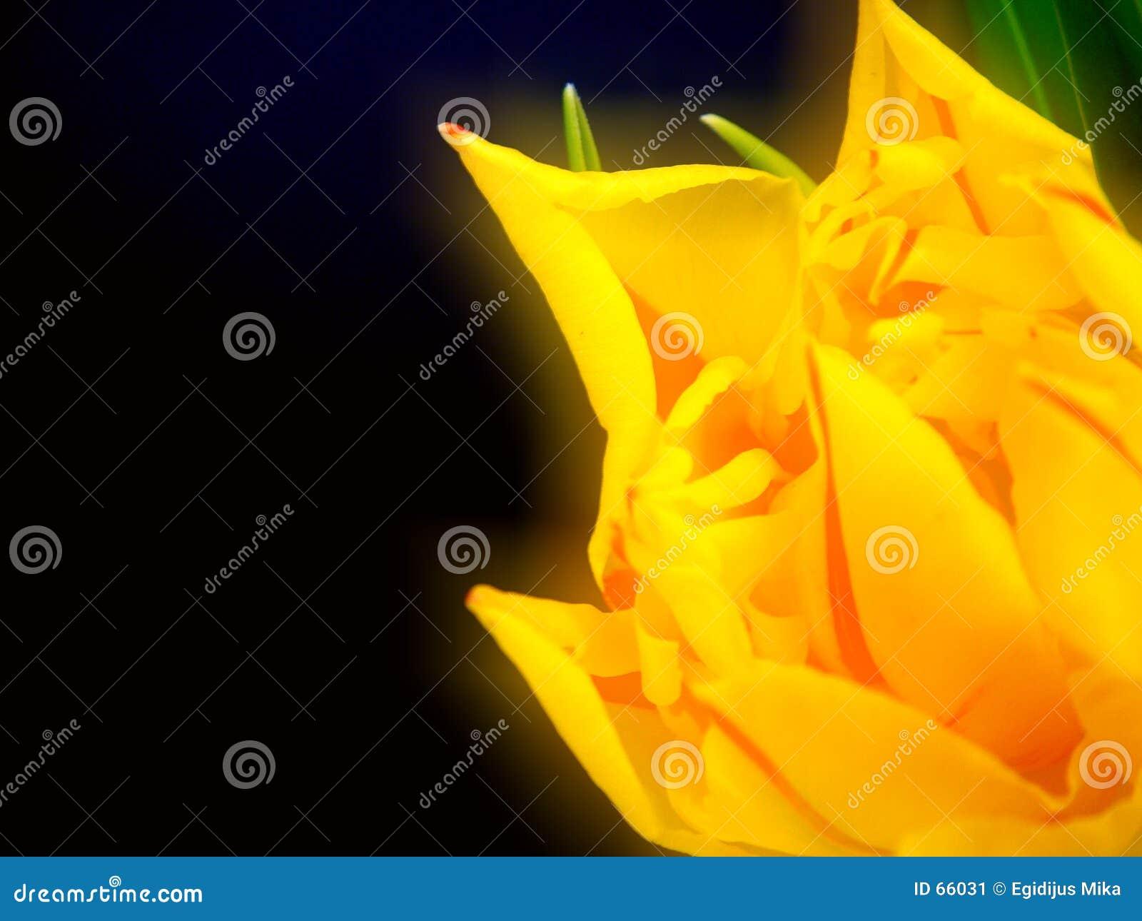 1 тюльпан