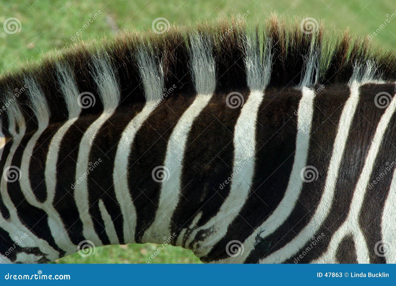 1匹纹理斑马
