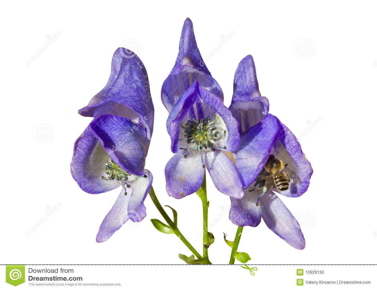 1 aconitum цветет taigicola
