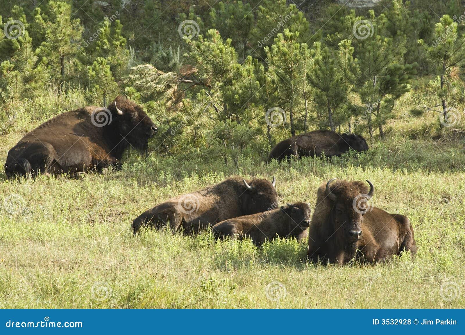 1 amerikanska buffel
