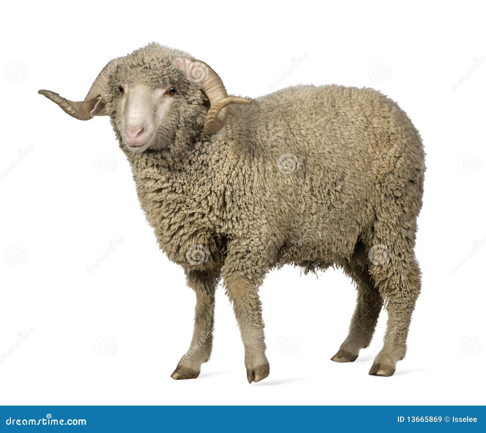 1 arles美利奴绵羊的老公羊绵羊年