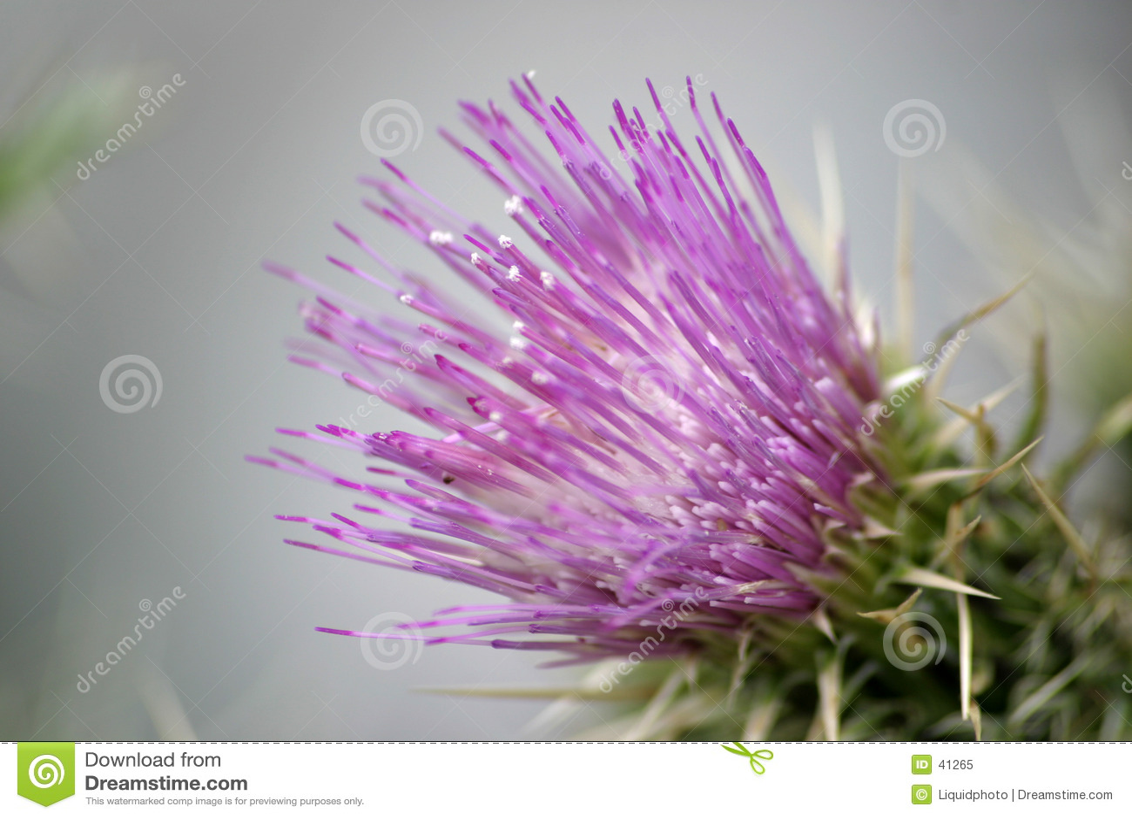 1 blommapurplethistle