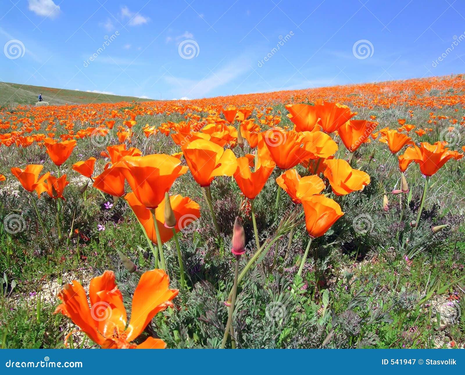 Download 1 califronia鸦片 库存图片. 图片 包括有 孤独, 开花的, 鸦片, 照亮, 加利福尼亚, 喜悦 - 541947