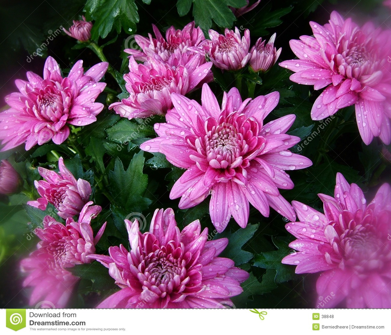 1 fall blommar pink