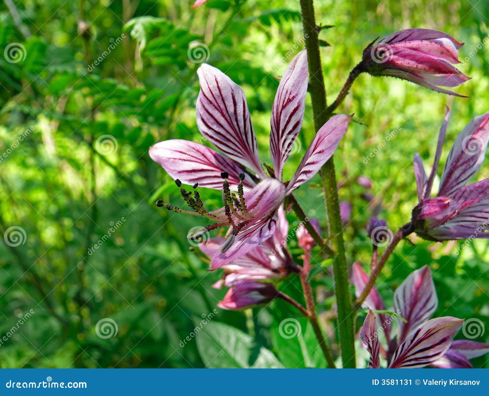 1 fraxinella цветков