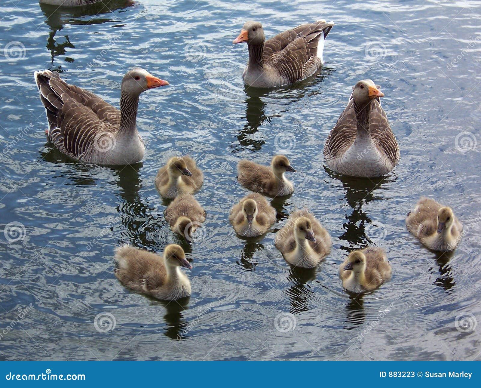 1 goose gęgawy rodziny