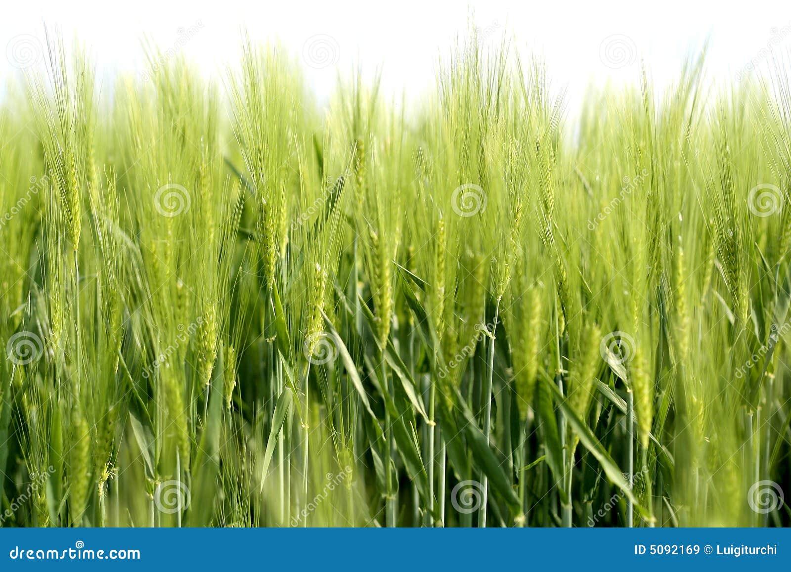 1 grano verde