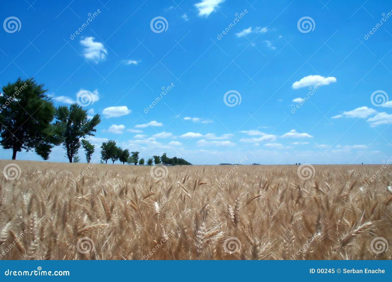 1 guld- vete för fält