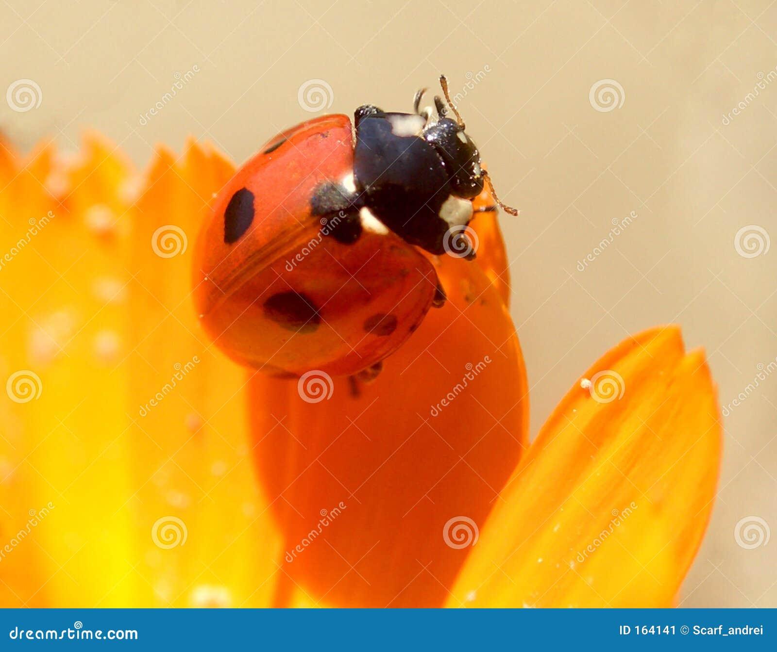 1 ladybird